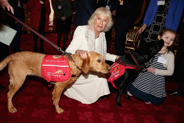 Camilla, Duchess of Cornwall laughs as she pats Medical Detection Dog Daisy whilst 6 year old Cerys Davies (who has type 1 diabetes) is licked by her detection dog Wendy at St James's Palace on March 11, 2014 in London, England. 10 year old Daisy has a 94% cancer detection rate from the 6500 samples she has used smell to diagnose.