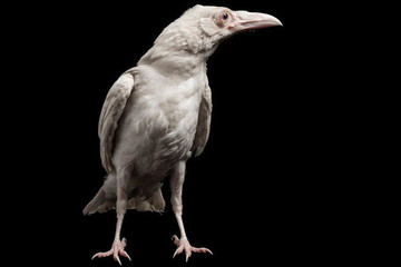 Here's What the White Raven Means on 'Game of Thrones'