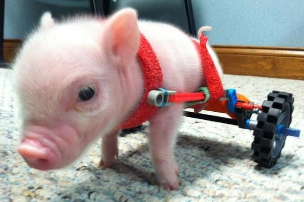 Cute of the Day: Watch This Baby Pig Mosey Along in a K'Nex Wheelchair [VIDEO]