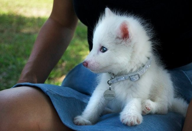 Have You Seen the Baby White Fox Whose Cuteness Is Owning ... - photo#2