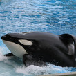 Tilikum the Whale