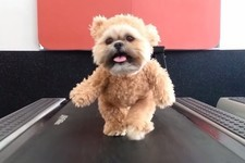This Adorable Dog Bear Working Out on a Treadmill Is Exactly What Your Day Needs